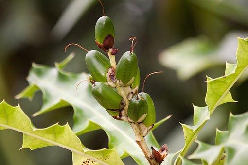 Acanthus, Acanthus Ilicifolius, Genus, Polynesia