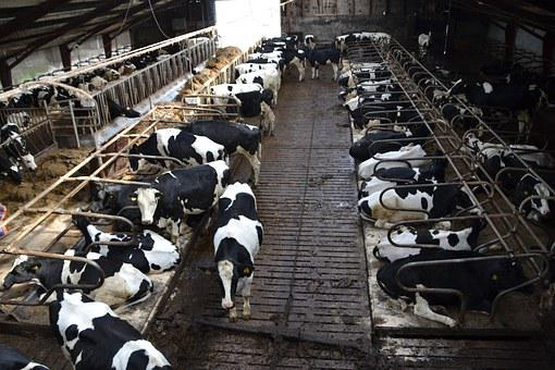 Cow, Farm, Stall, Animals, Agriculture, Nature