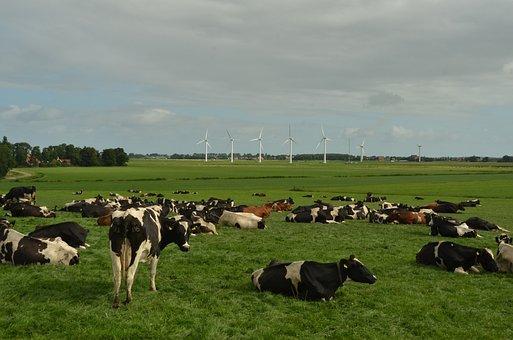 Cow, Beef, Cattle, Animal Husbandry, Milk, Pasture