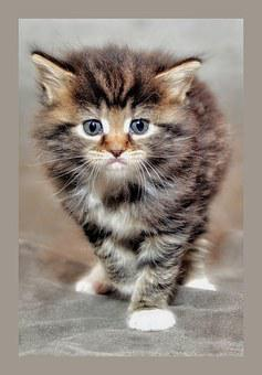 Baby Cat, Kitten, Grumpy Cat, Maine Coon, Young Cat
