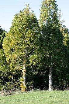 Big Tree, Agathis Macrophylla, Pacific Kauri, Conifer