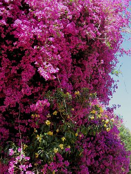 Bougainvillea, Shower, Flowers, Pink, Bright