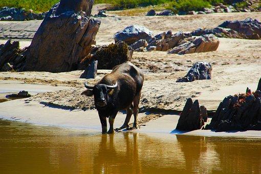 Oxe, River, Drinking, Rocks, Cow, Buffalo, Bull, Animal