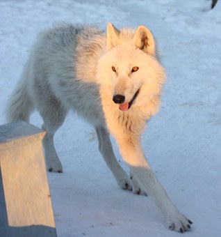Greenland Husky, Canine, Snow, Winter, Dog
