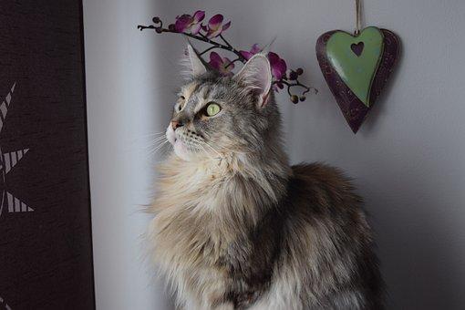 Cat, Main Coon, Maine Coon, Pet, Cat Face, Domestic Cat