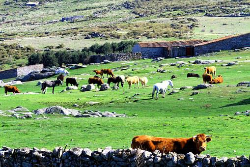 Cows, Cattle, Animal, Livestock, Rural, Nature