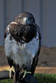 Chilean Blue Eagle, Eagle, Chilean, Bird, Blue, Buzzard