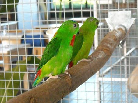 Parakeets, Small Parrots, Birds, Colorful, Cage, Pets