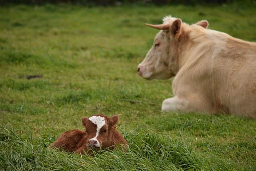 Cattle, Cow, Mom, Mother, Love, Agriculture, Milk