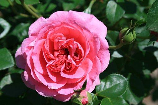 Rose, Pink, Deep, Double, Petals, Dense Centre, English