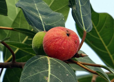 Fig, Wild, Red, Ripe, Green, Ficus, Leaves, Tree, Flora