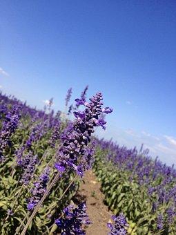 Lavender, Flowers, Fields, Blossoms, Violet, Purple