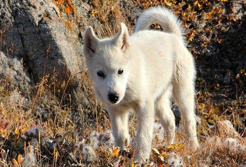 Greenland Dog, Dog, Draghund, Fur