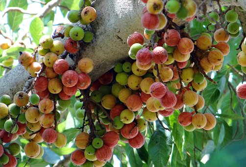 Ficus Glomerata, Fig, Gular, Wild Fig, Tree, Dharwad