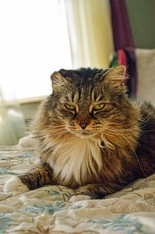 Macy, Cat, Bedroom, Maine Coon, Home, Animal, Resting