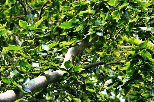 Japanese Raisin, Dense, Branch, Thick, Tree, Organic
