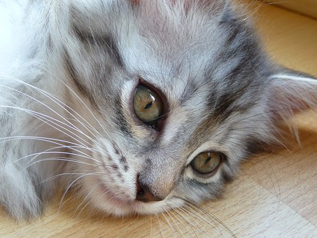 Kitten, Maine Coon, Grey, Silver, Cat