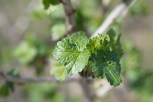Leaves, Branch, Engine, Spring, Currant, Currant Leaves