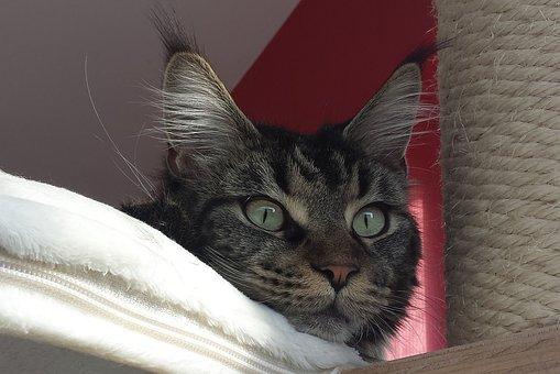 Cat, Maine Coon, Pet, Maine Coon Cat, Cat Face