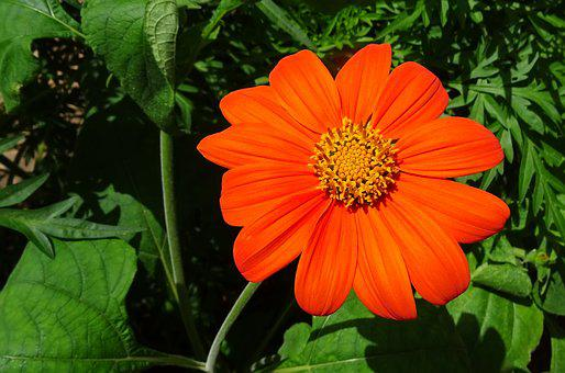 Flower, Mexican Sunflower, Tithonia, Japanese Sunflower