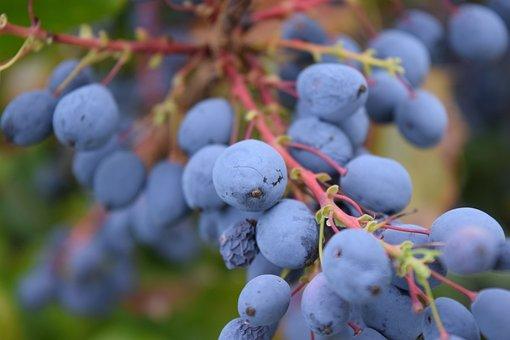 Barberry, Mahonia Bealei, Berries, Rowanberries, Nature