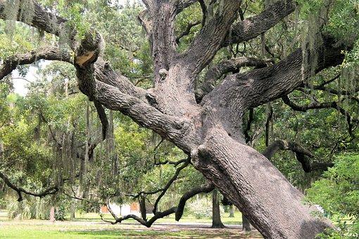 Gnarly Oak, Big Tree, Old Tree, Tree, Park, Mossy Tree
