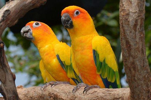 Sun Conures, Conure, Bird, Animal, Feather, Parrot