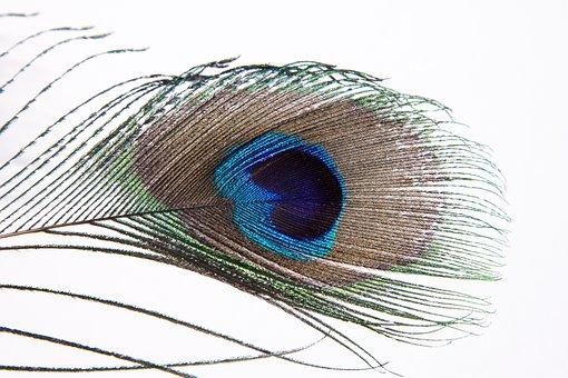 Peacock Feather, Peacock, Pavo Cristatus, Bird Feather