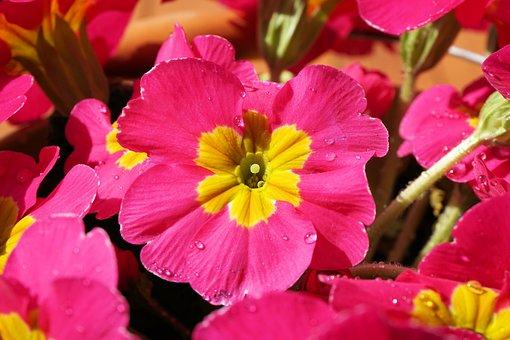 Primrose, Flower, Blossom, Bloom, Plant, Nature, Close