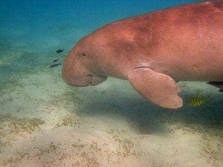 Manatee, Dugong, Snorkeling, Diving, Red Sea