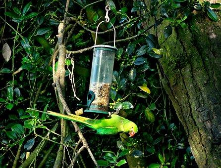 Rose-ringed Parakeet, Parakeet, Parrot, Bird