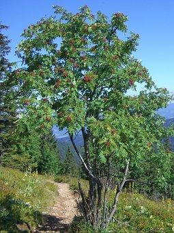 Mountain Ash, Rowan, Berries, Red, Sky, Blue, Path