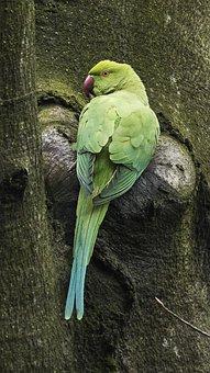 Necked Parakeet, Small Alexander Parakeet