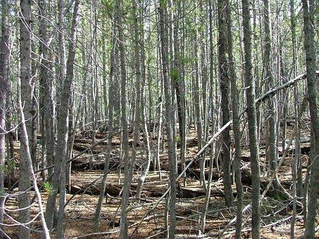 Forest, Trees, Dense