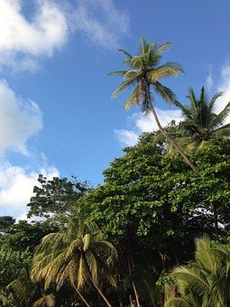 Trees, Greenery, Plants, Nature, Palms, Coconut Trees