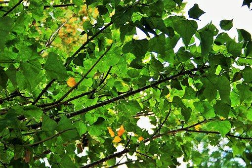 Green Foliage, Leaves, Dense Tree, Green, Yellow