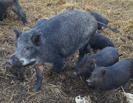 Pig, Animal, The Critters, Wild, The Bristles, Snout