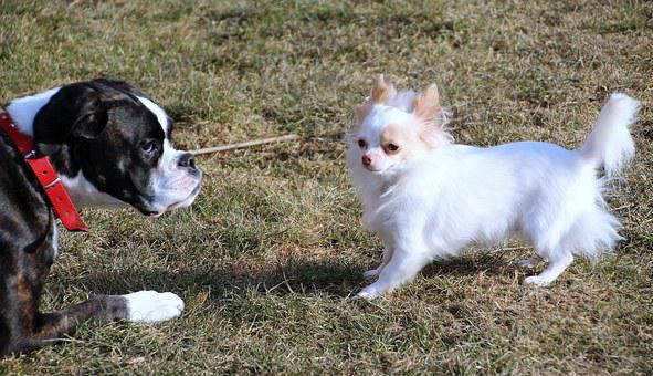 Dogs, Pets, Boxer, Chihuahua, Black, White, Large