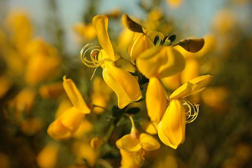 Gorse Blossom, Broom, Blossom, Bloom, Yellow, Spring