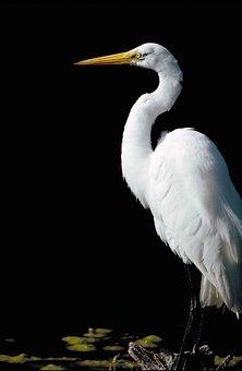 Alba, Ardea, Standing, Side, From, Great, Bird, Egret
