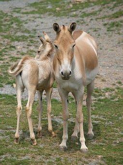 Horse, Mare, Foal, Przewalski