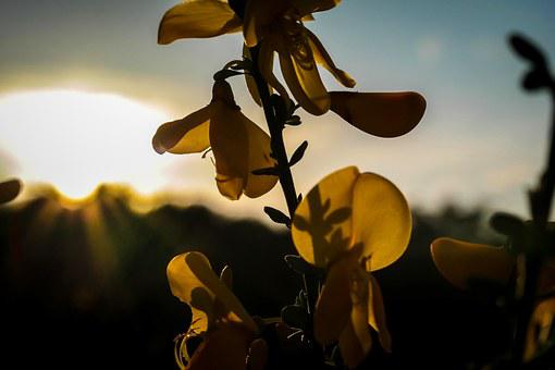Gorse Blossom, Broom, Back Light, Sun, Shadow