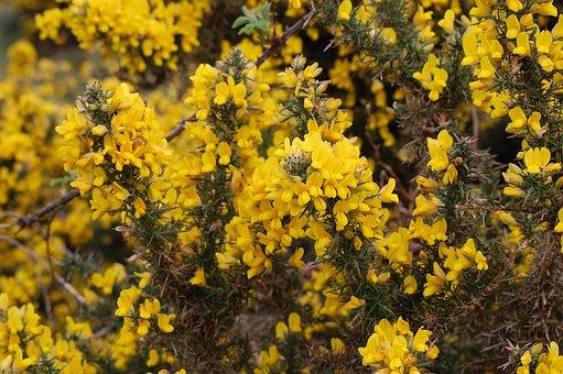 Broom, Flower, Nature, Yellow, Spring, Gorse Bush