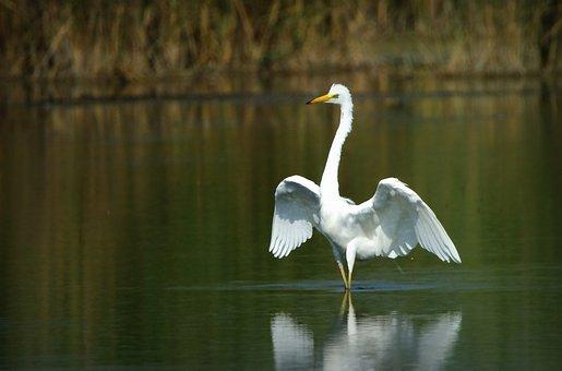 Heron, White, Egretta Alba, Bird, Large, Water, Wings