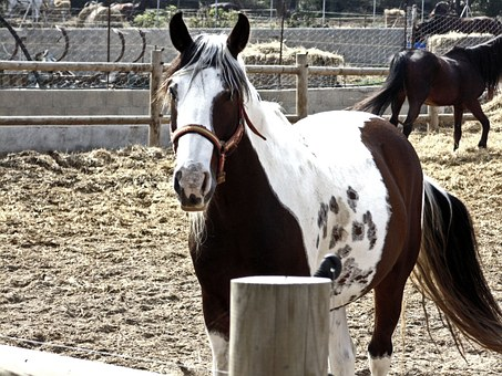 Horse, Animal, Four Legged