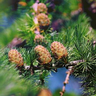 Larch, Larch Cones, Sprig, Larch Needles, Needles