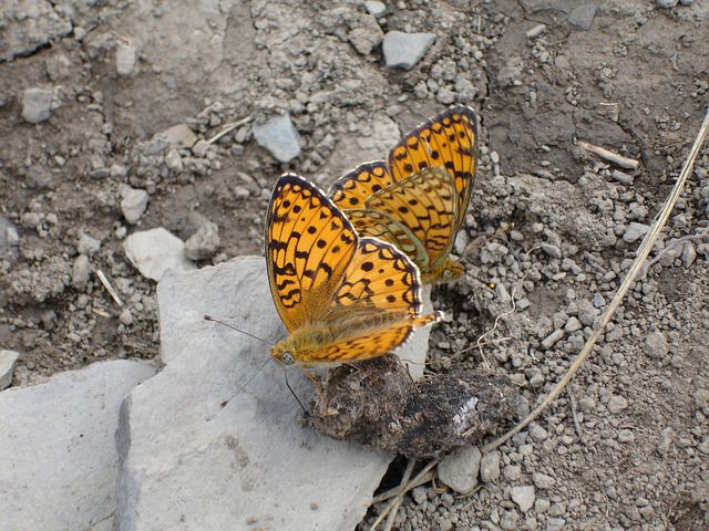 Butterfly, Insects, Orange, Dots, Mating, Copulating