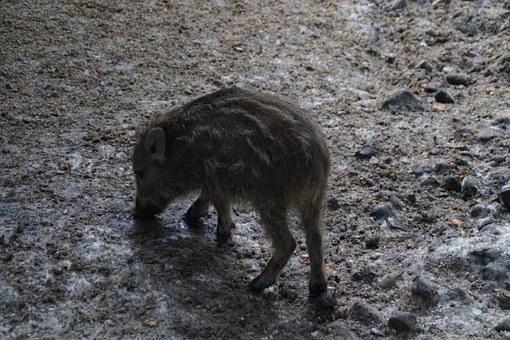 Launchy, Foraging, Pig, Piglet, Mud, Dig, Wild Boars