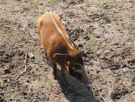 Brush Ear Pig, Wild, Zoo, Nature, Animal, Portrait