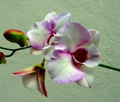 Orchid, Flower, Pink Rock Orchid, White, Pink